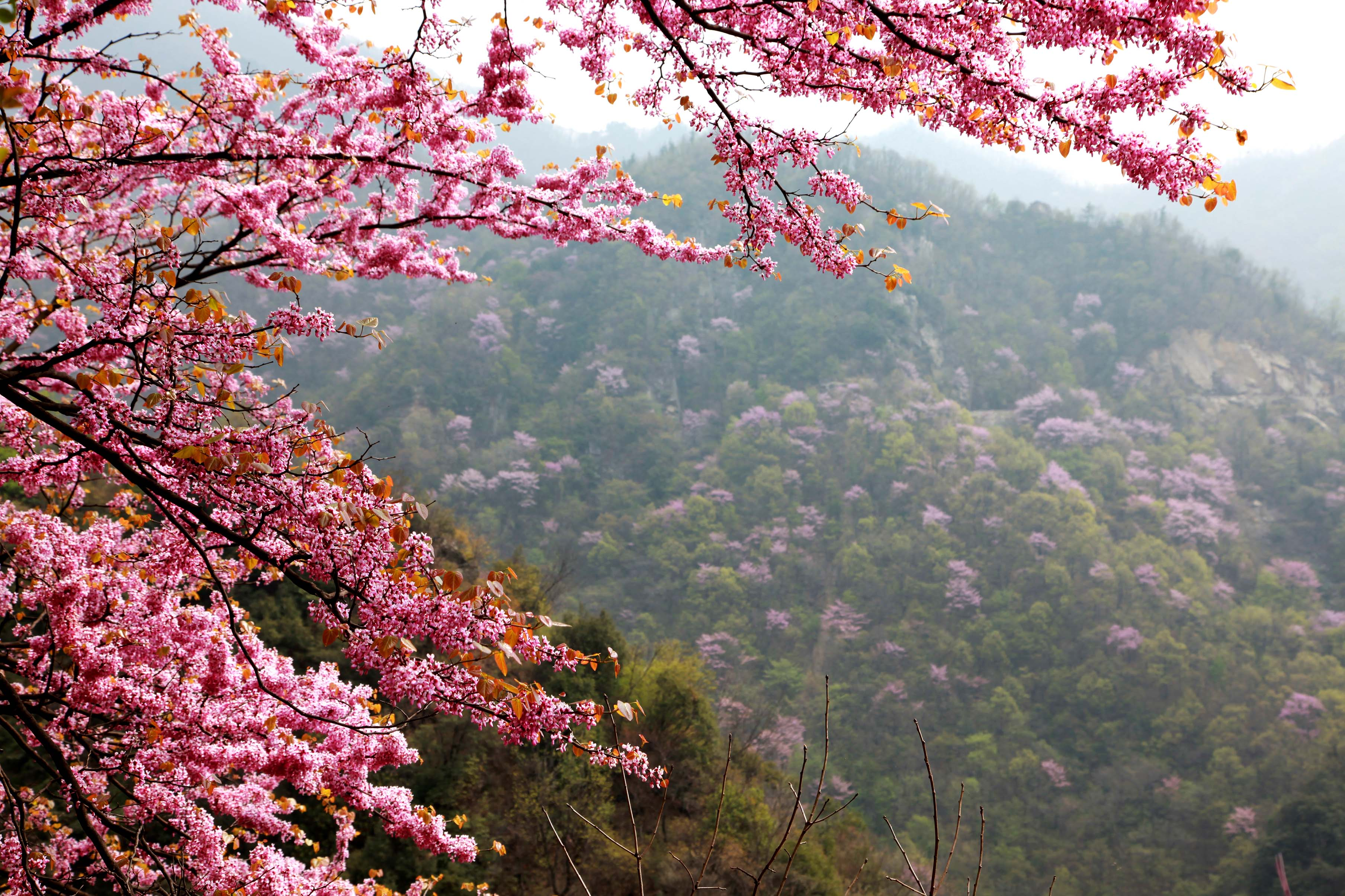 紫荆花海.jpg
